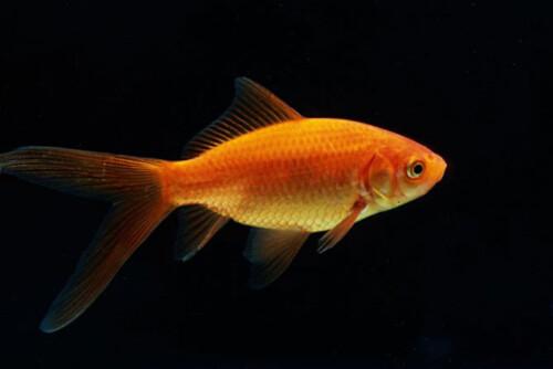 Comet-goldfish
