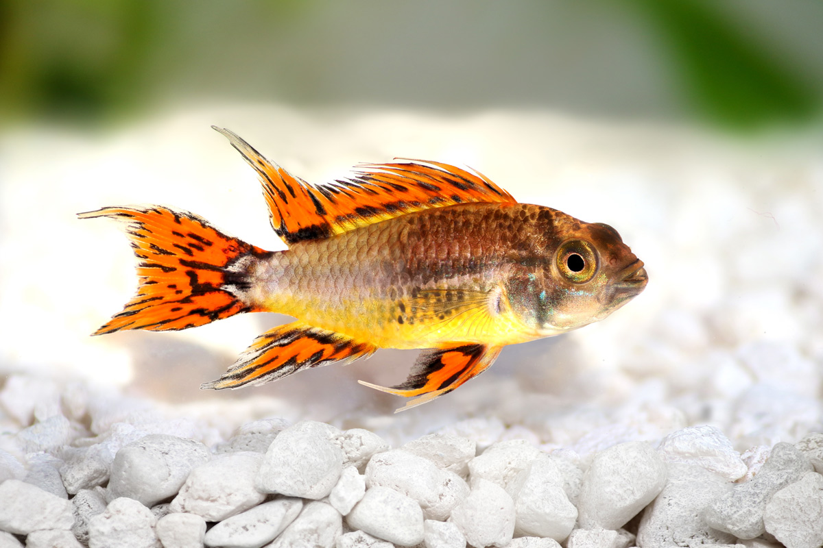 Apisto-cacatuoides-red