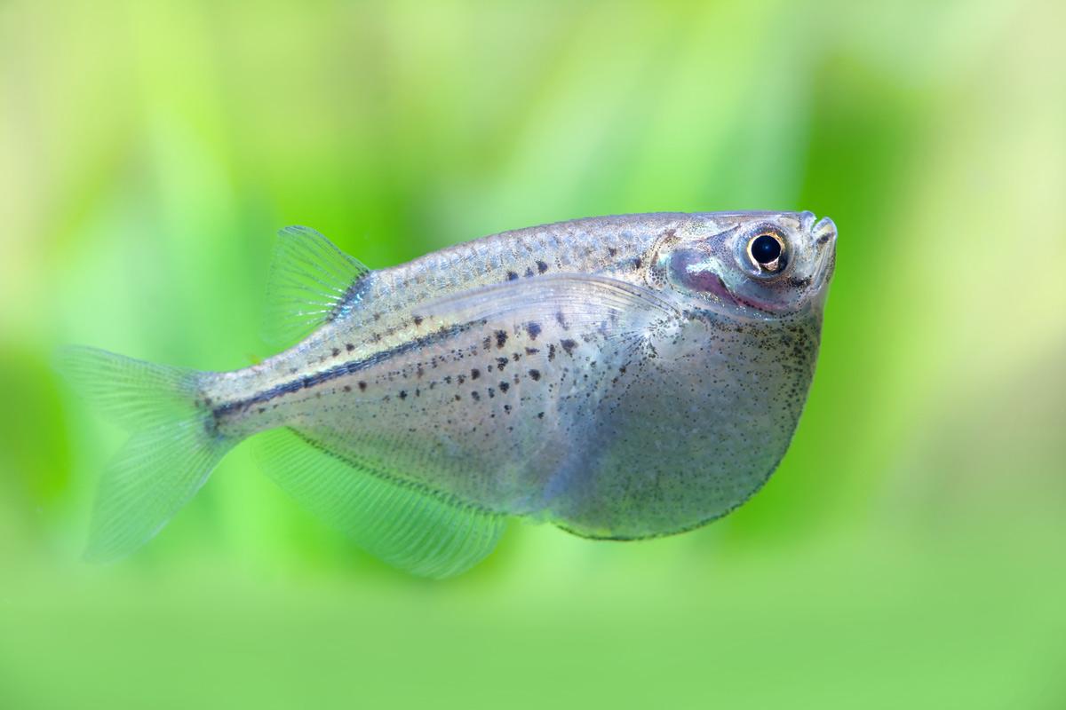 Gasteropelecus-sternicla-zilver-bijlhaai