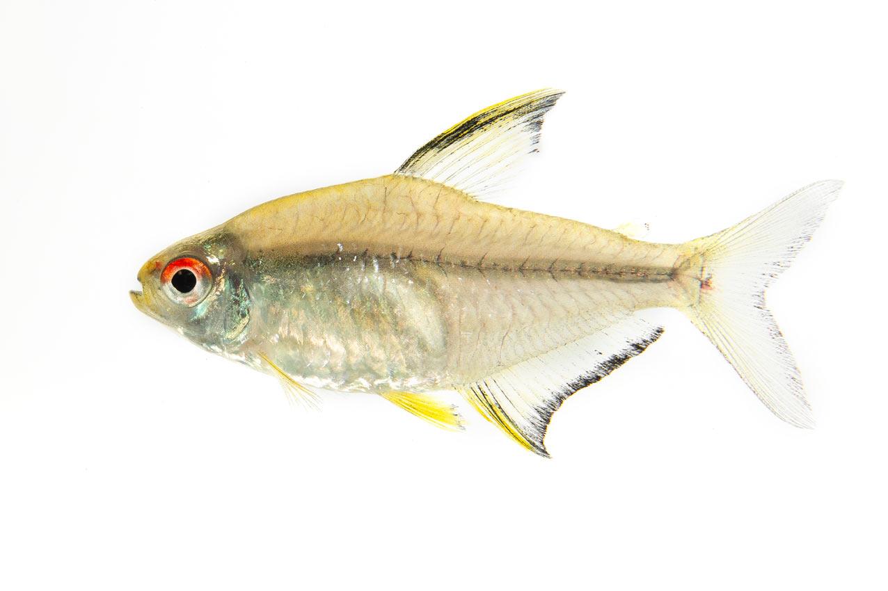 Hyphessobr. pulchripinnis