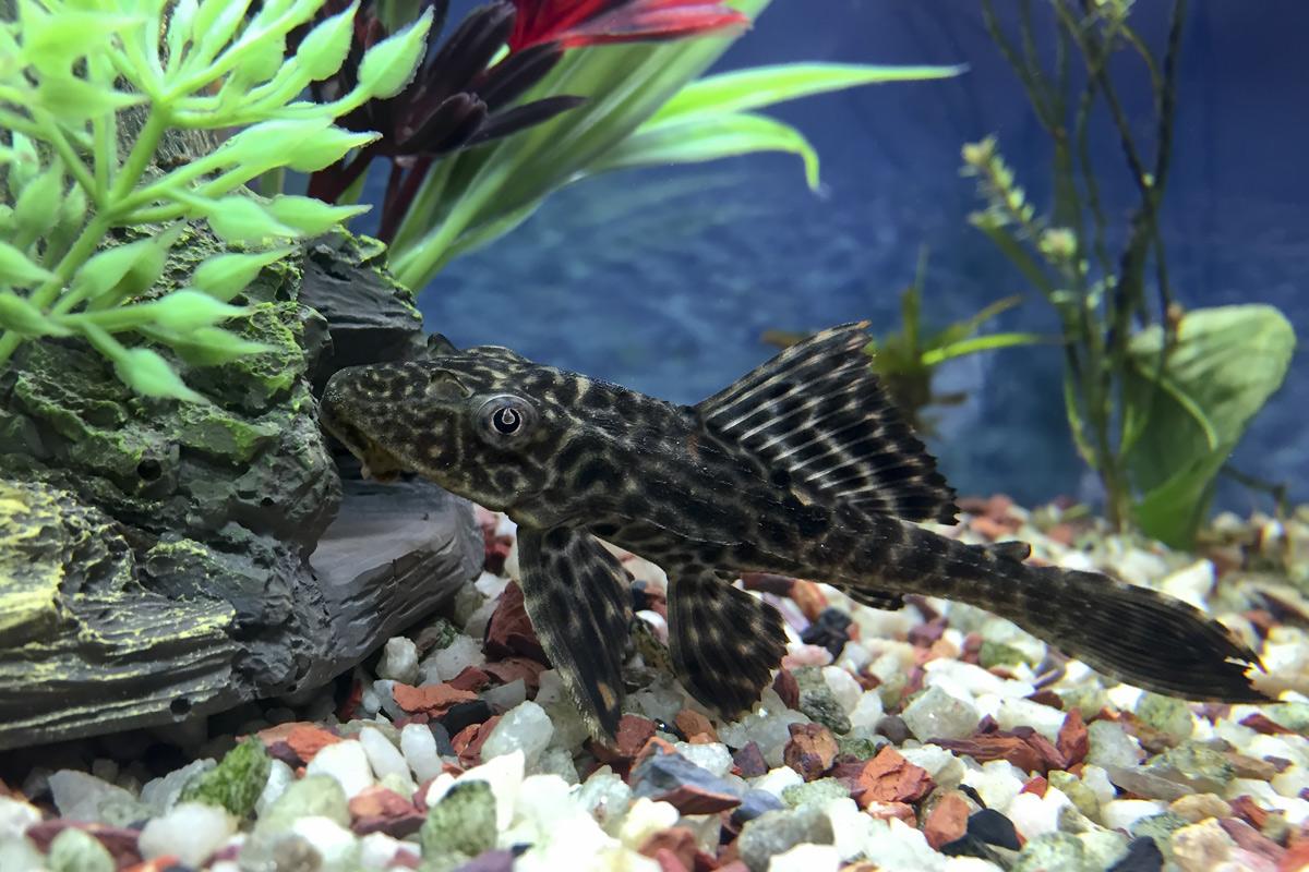 Hypostomus-plecostomus