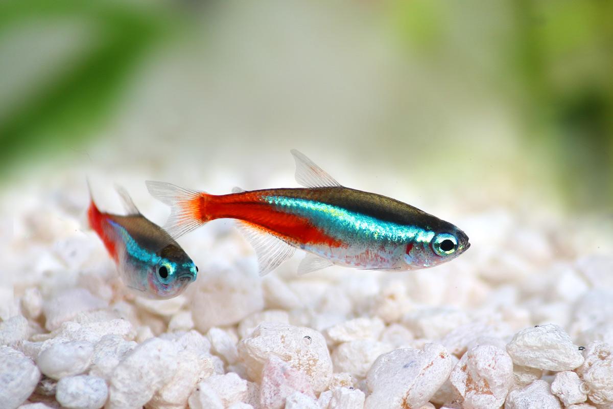 Paracheirodon-inessi-neon-tetra