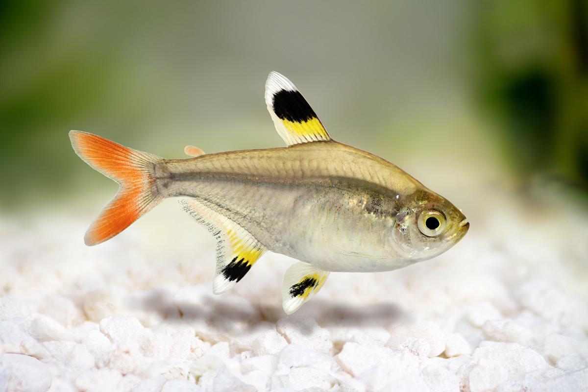 Pristella-maxillaris-gold