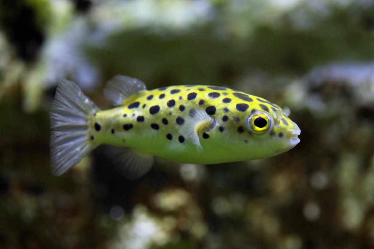 Tetraodon-nigroviridis-green-spotted-puffer