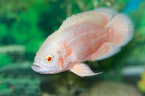 albino-pauwoog-cyclide