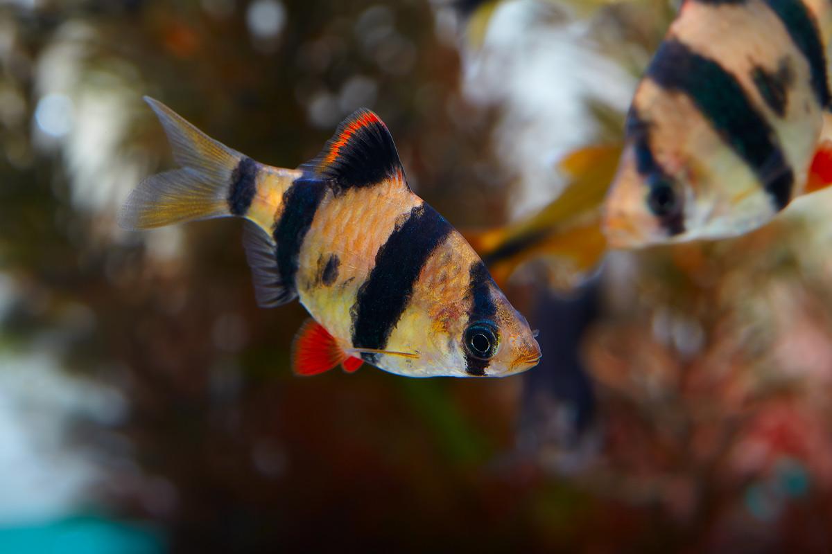 capoeta-tetrazona-tijgerbarbeel