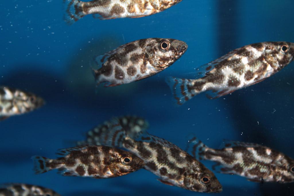 Haplochromis Livingstonii