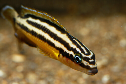Regani julidochromis