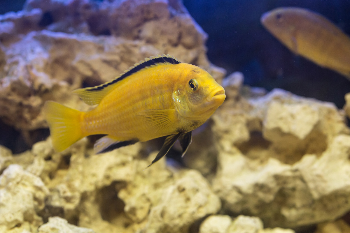 malawi-cycliden-labidochromis