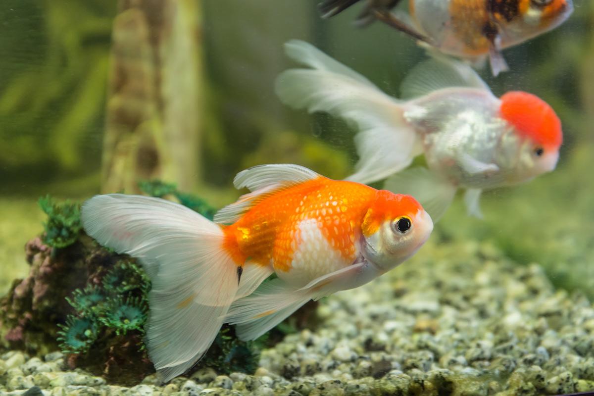 red-white-oranda