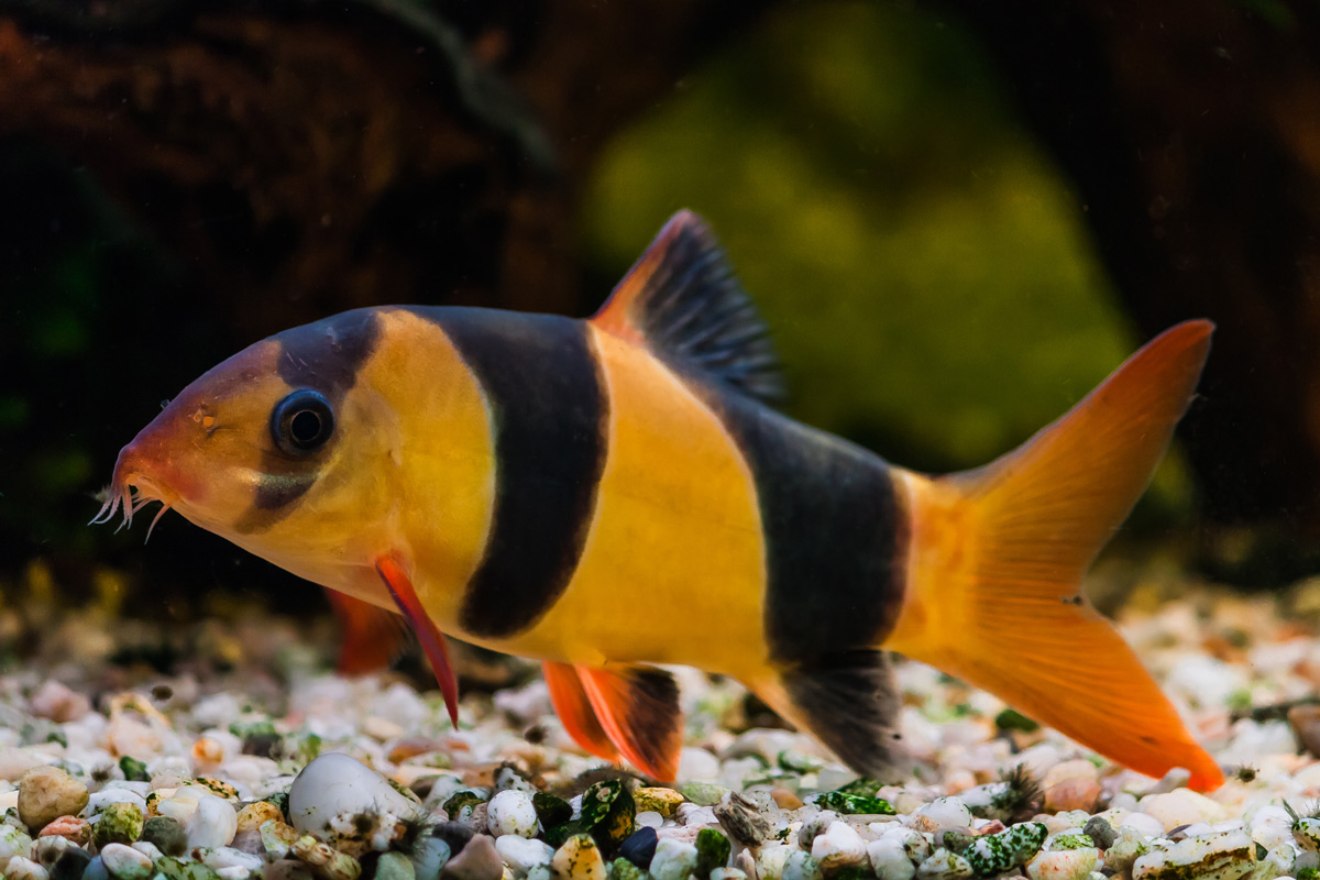 slakkeneter-Botia-macracantha