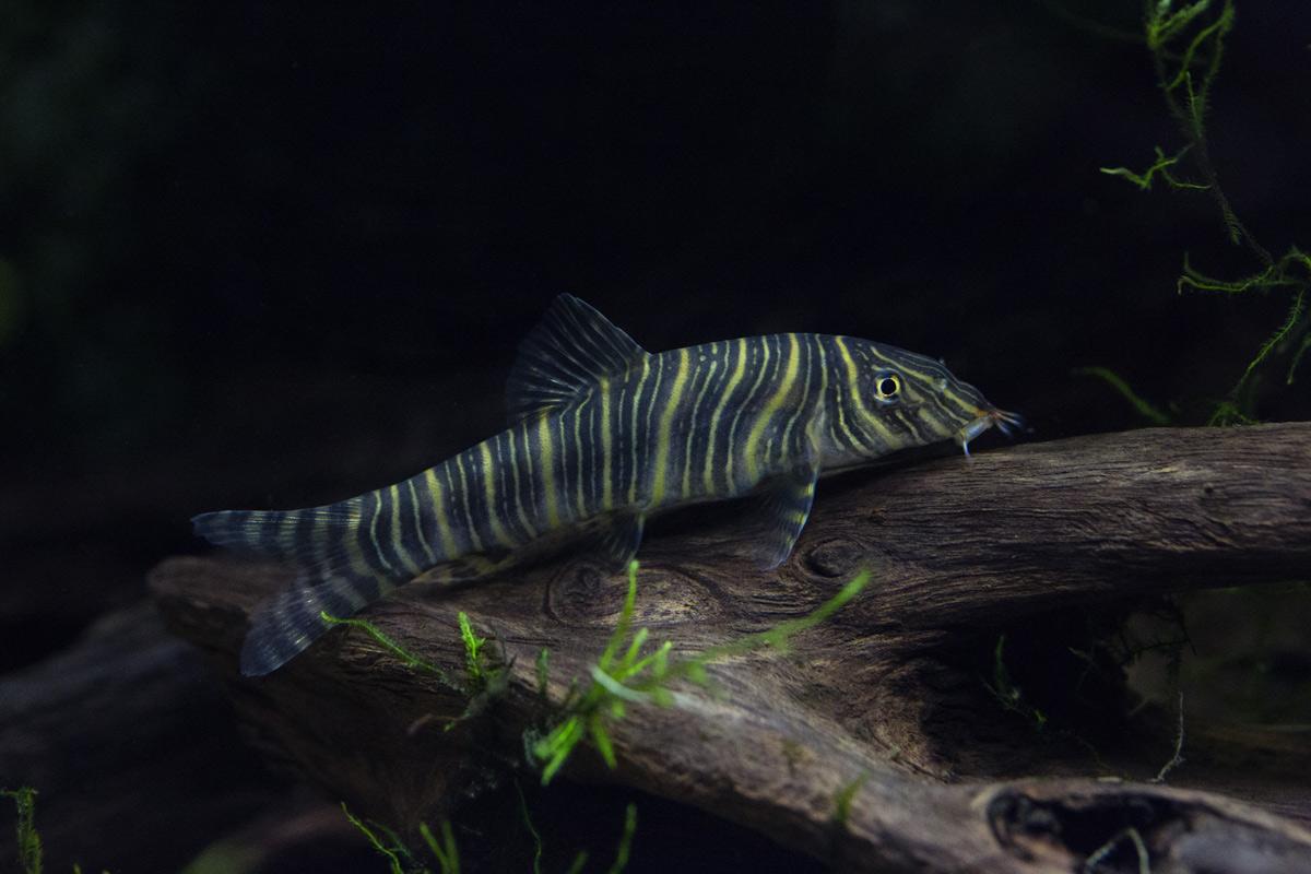 slakkeneter-botia-striata