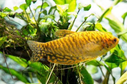 trichopterus-gold-gouden-gourami