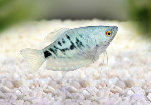 trichopterus-marble-marmer-gourami