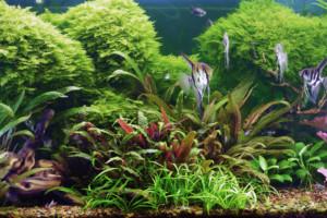 aquarium plant cryptocorine