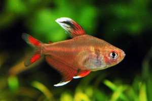 Hyphessobrycon bentosi whitefin