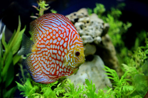 Symphysodon Discus German Wonder