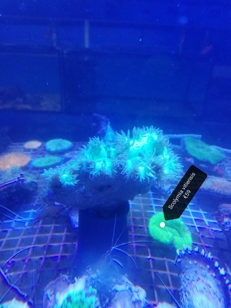 Scolymia koralen