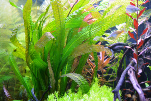 Plant aquarium: aponogeton