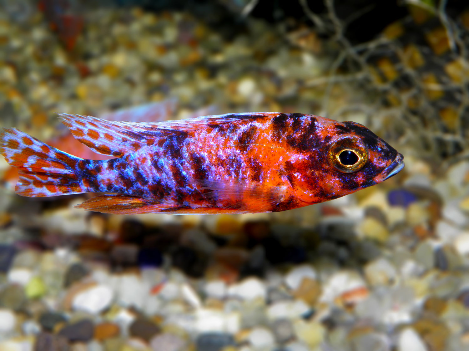 Aulonocara Calico Red