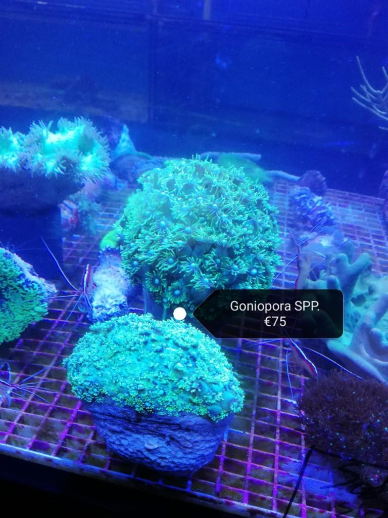 Goniopora koralen